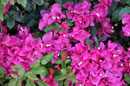 Brevard County Rentals, Pink Flowers Photo - Beachside Apartments